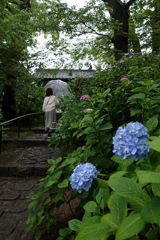 資福禅寺の紫陽花